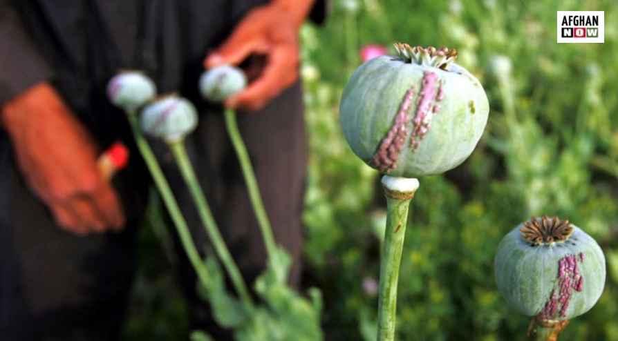 افغانستان کې د تریاکو تولید زیات شوی سپینه ماڼۍ